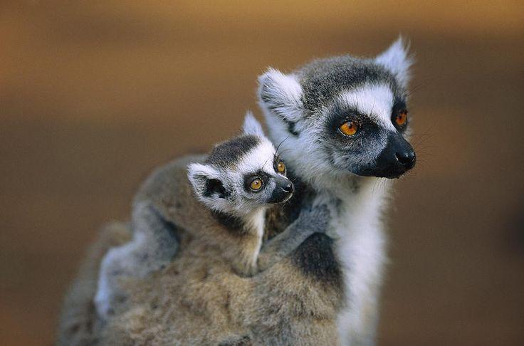 20 adorables animales bebés | Lémur