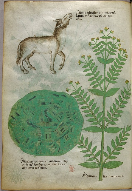 Miniatures of plants, a braying donkey, and a map - (Tractatus de Herbis - Sloane 4016   f. 6) by peacay, via Flickr