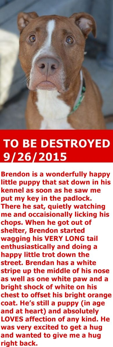 KILLED by adopter --- SAFE 9-25-2015 by  Pound Hounds Res-Q --- Brooklyn Center – P  My name is BRENDON. My Animal ID # is A0900659. I am a neutered male brown and white pit bull mix. The shelter thinks I am about 5 YEARS old.  I came in the shelter as a STRAY on 09/15/2015 from NY 11207, owner surrender reason stated was STRAY. http://nycdogs.urgentpodr.org/brendon-a0900659/