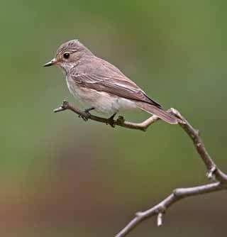 Harmaasieppo, Muscicapa striata - Linnut - LuontoPortti