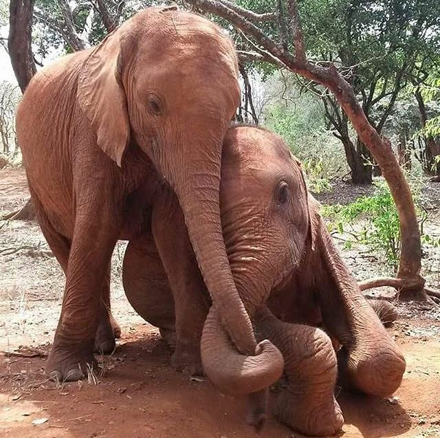 How beautiful. Such devotion and love Elephants have for each other.