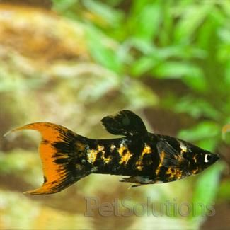 Marble orange lyretail molly fresh water fish scientific for Scientific name of fish