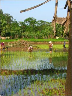 Rice-growing in Cambodia: Stung Treng province