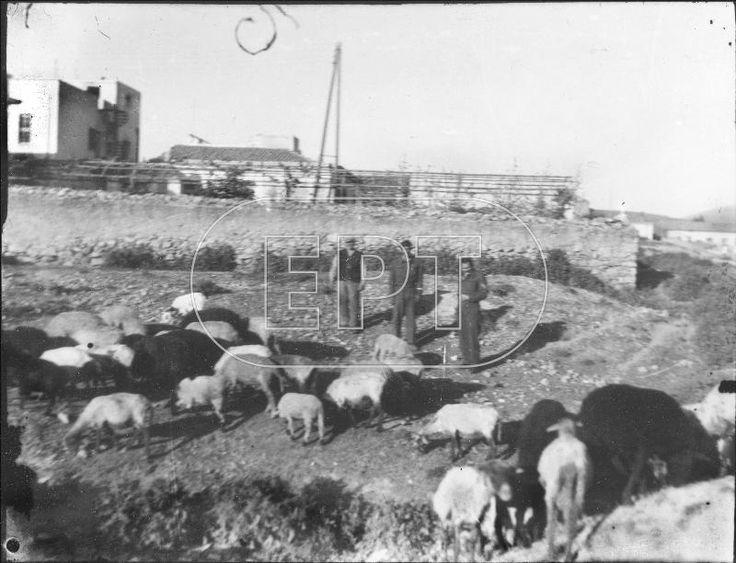 1925-26 ΑΘΗΝΑ. ΒΟΣΚΟΙ ΜΕ ΤΑ ΠΡΟΒΑΤΑ ΤΟΥΣ ΣΤHN ΠΕΡΙΟΧΗ ΤΟΥ ΖΩΓΡΑΦΟΥ