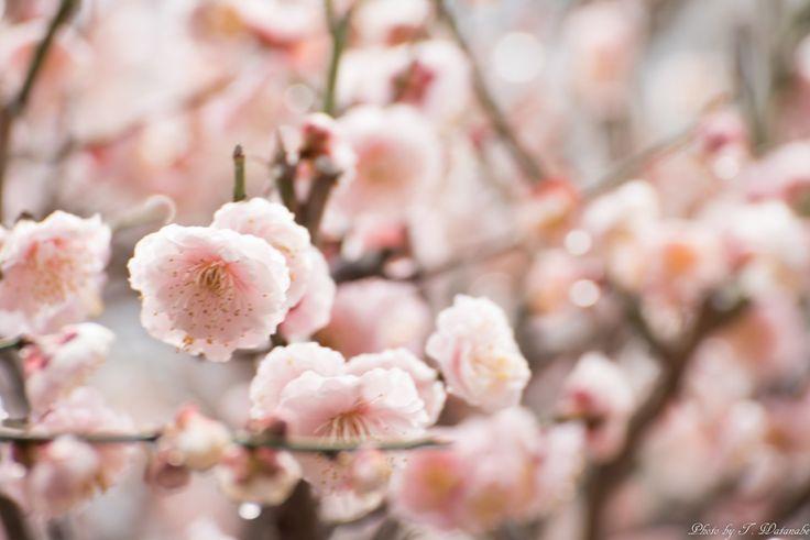 Fujiidera-shi, Ōsaka-fu, Japanで撮影された写真 20150308-T7W_0034 : パシャデリック