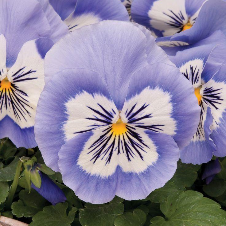 Pansy 'Mystique Blue Halo' - Perennial & Biennial Plants - Thompson & Morgan