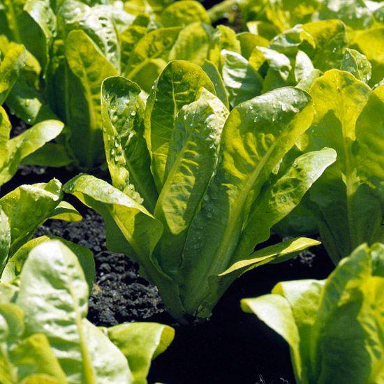Best 25 Regrow Romaine Lettuce Ideas On Pinterest: Best 25+ Lettuce Types Ideas On Pinterest