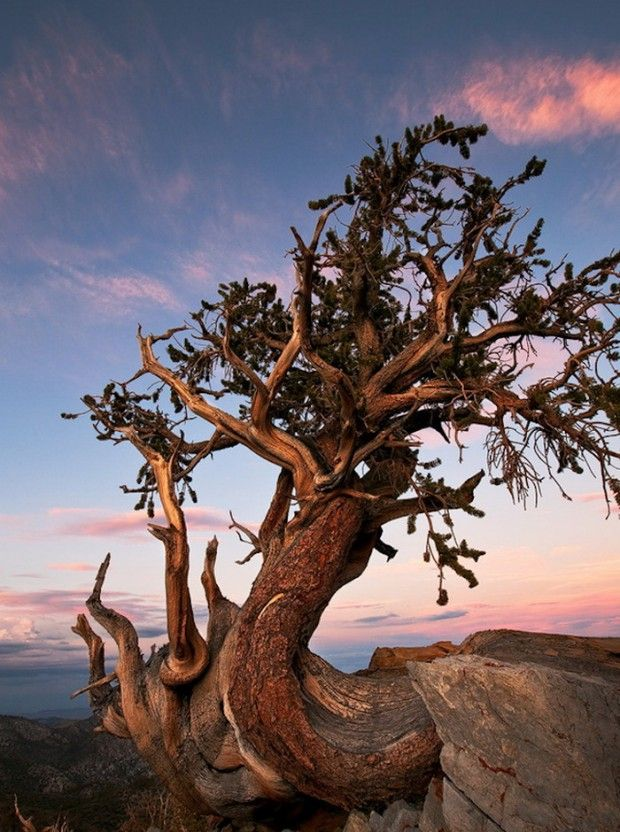 "On top of the White Mountains in California's Inyo National Park, grow ""Great Basin Bristlecone"" pines, the oldest living trees in the world."
