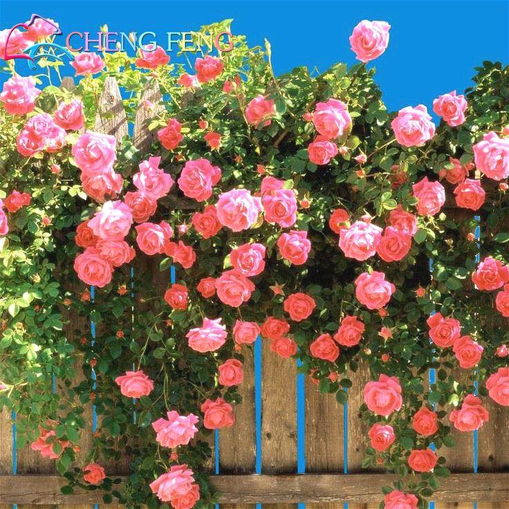 200 unids/lot. Rosa, Plantas Trepadoras, Polyantha rosa, chino Semillas de Flores, Rosas trepadoras Semillas. en Bonsais de Hogar y Jardín en AliExpress.com | Alibaba Group