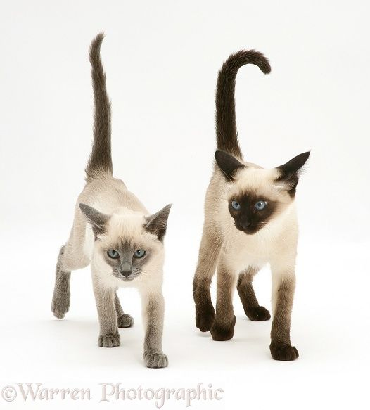 Seal-point and Blue-point Siamese kittens photo                                                                                                                                                                                 More