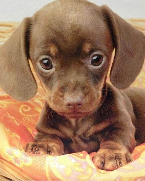 Dachshund puppy....its head is so big, and its body is so small....oh my goodness this is adorable. I died!