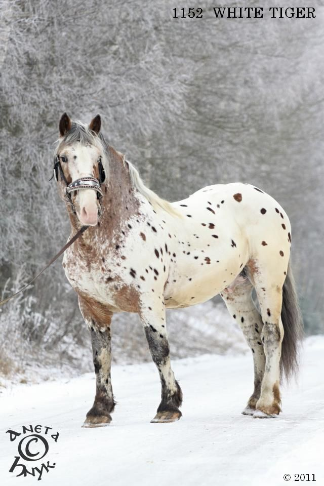 Noriker stallion White Tiger i would name it bobba-nolan i would name it murphy or tockyae (tok-yeah!)