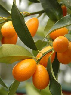 Esta es una buena fruta para tener en tu casa, es más conocido como: NARANJO CHINO, o ENANO, su cascara es dulce, y en la parte de adentro es agrio.