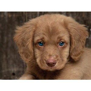 Golden Cocker Retriever Puppy :)