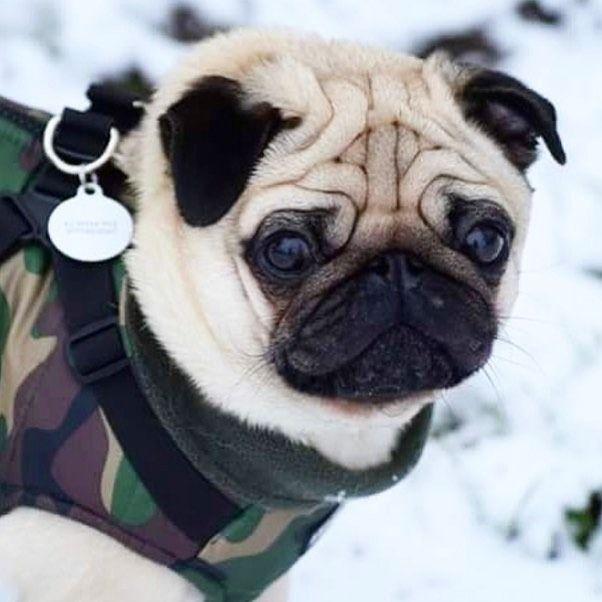 Pin On Pugs