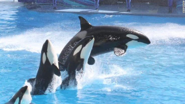 SeaWorld's famous orca that killed trainer died from bacterial pneumonia