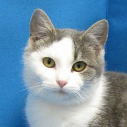 Mindi is an adoptable Domestic Short Hair - Gray And White Cat in Springfield, IL.