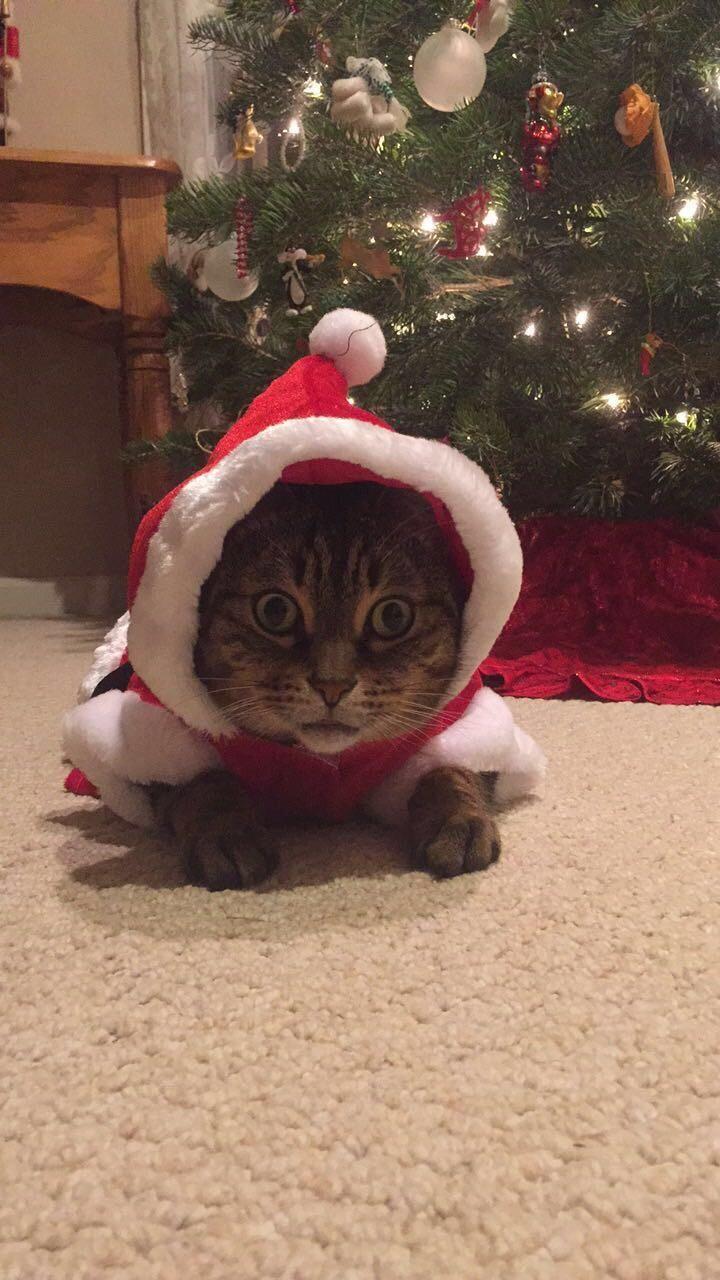 Our savanna cat Zuri heard there was an opening on Santas sleigh http://ift.tt/2ArPECK
