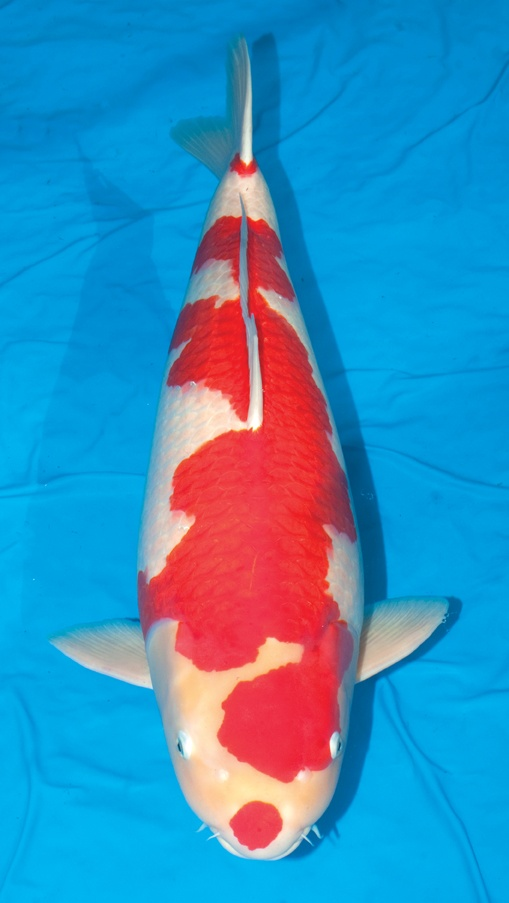 192 best japan koi kohaku images on pinterest kohaku for Champion koi fish