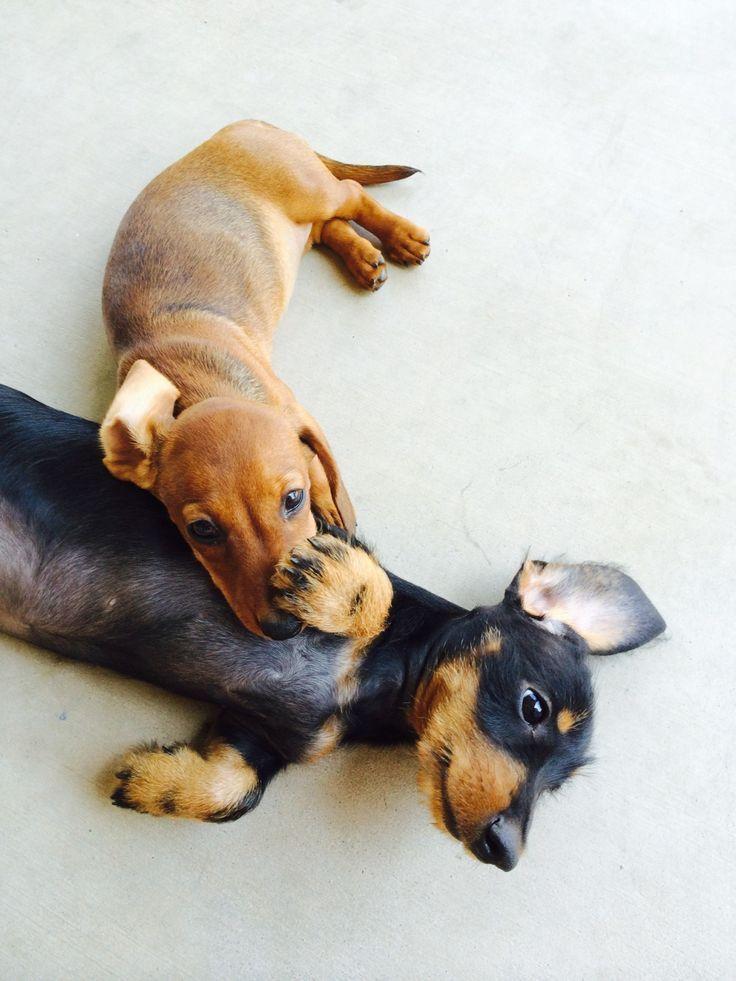 Puppy pals. #Doxies
