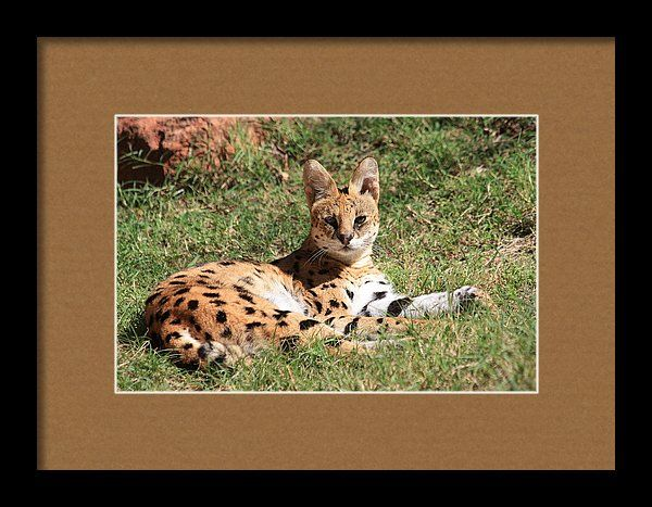 Nature Framed Print featuring the photograph Serval Cat by Sheila Brown