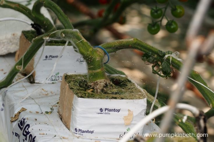 Early on in the tomato plant's life, the cotyledon leaf is pinched out, this action encourages the grafted F1 tomato plants to produce…