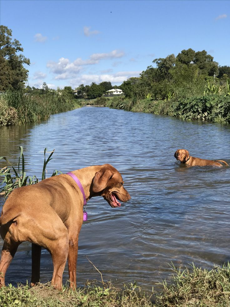 Come on in the water's fine!  Vyzby and Hedges at Kedron Brook.  Vizsla's in Brisbane are soooo spoilt!