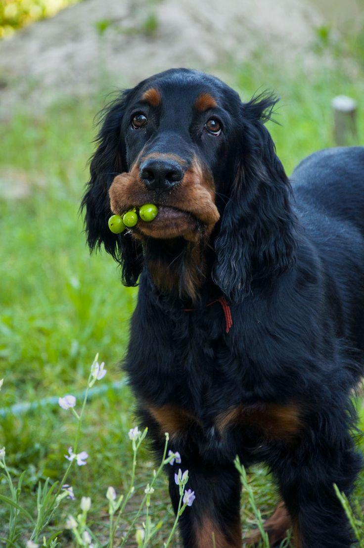 Best 25+ Gordon setter ideas on Pinterest  Irish setter dogs, Setter puppies and Irish fudge image
