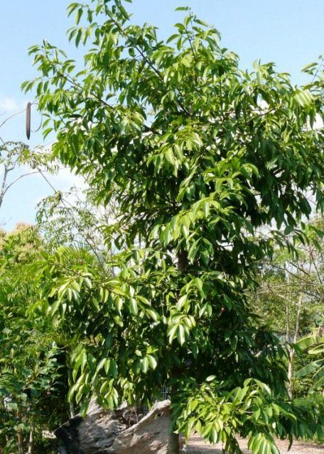 Asiatische Pflanzen 7 besten asiatische pflanzen gewürze bilder auf