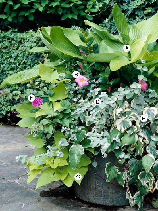 Grow a Mixed Planting  This container offers a little of everything: annuals, perennials, and tropical vines. Mix and match different plant types for high-impact combinations.  A. Hosta plantaginea -- 1  B. Mandevilla 'Alice du Pont' -- 1  C. Sweet potato vine (Ipomoea batatas 'Margarita') -- 1  D. Licorice plant (Helichrysum petiolare) -- 2  E. Algerian ivy (Hedera algeriensis) -- 2  F. Verbena 'Superbena Burgundy' -- 3