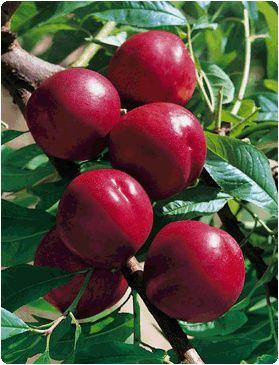 NECTARINES - Nectarina (Prunus persica var. nucipersica, família Rosaceae) . É uma variedade de pêssego, lisa (sem pêlos), de caroço livre. Embora seja bastante difundida a crença de que a nectarina seja uma fruta desenvolvida em laboratório (como combinação de material genético -- enxerto -- do pêssego e da ameixa), trata-se, na verdade, de uma mutação do pêssego, causada por um gene recessivo.