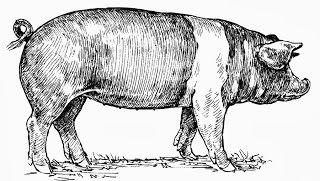 pig illustration