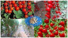 Metoda prin care roșiile produc mai mult, iar producția se coace într-un timp mult mai scurt decât în mod normal, fără chimicale. Soluția, care aparține agronomului rus I.M Maslov, se bazeaz�
