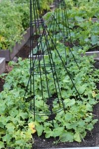 Cucumbers - upside down tomato cages for them to climb up...  cheaper & easier than building a trellis.