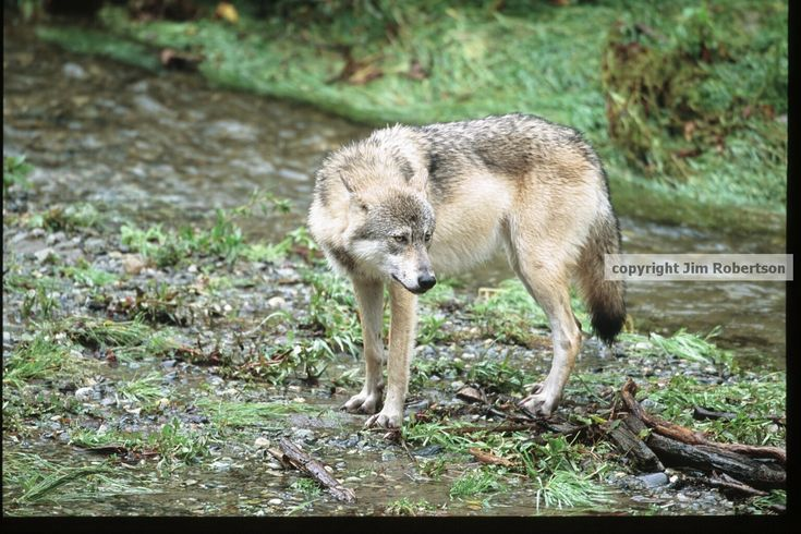 Rewards are offered for information leading to the convictions of those responsible for shooting deaths of Mexican wolves.copyrighted wolf in river