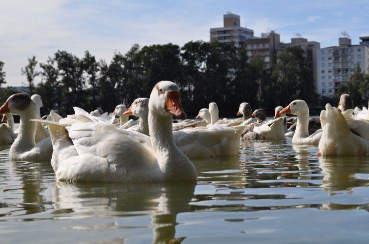 Lago com Patos no Parque das Águas de São Lourenço MG