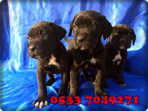 Cane Corsa  0533 704 9271 #canecorsa #love #dog #cute #instagram #05337049271  #puppies #puppy #like #home #animals #dogs #evcilhayvan #pin #pinlike #likeforlike