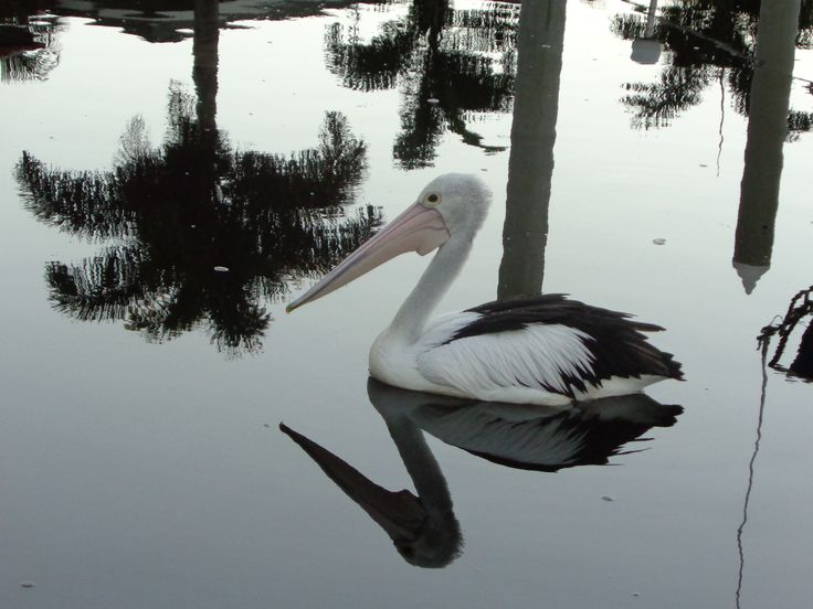 Pelican on the Goldcoast