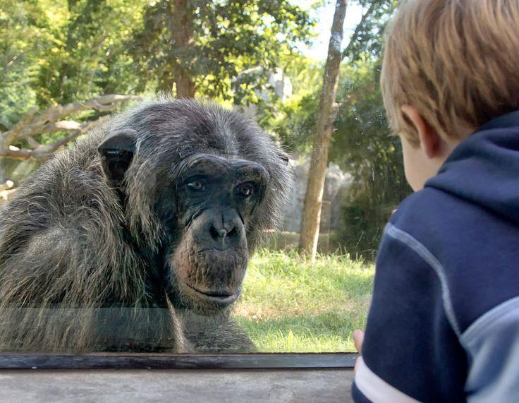 Schimpansen sind intelligente, sozial lebende Tiere. Sie unterscheiden sich im Erbgut nur minimal von Menschen. Dürfen wir sie gegen Geld zur Schau stellen? (Foto von: Doris Rudd Designs, Photography/Moment/Getty Images)
