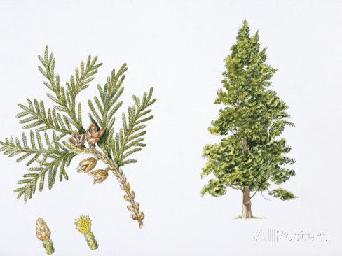 thuja occidentalis - Google Search