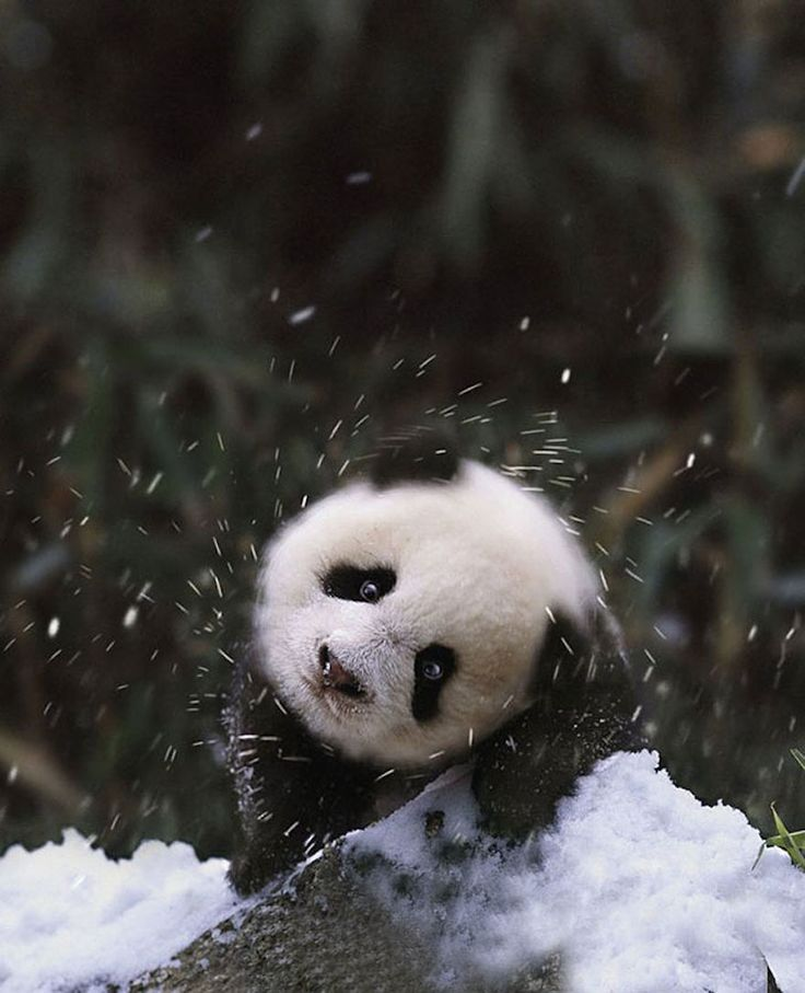 Baby Panda Playing In The Snow