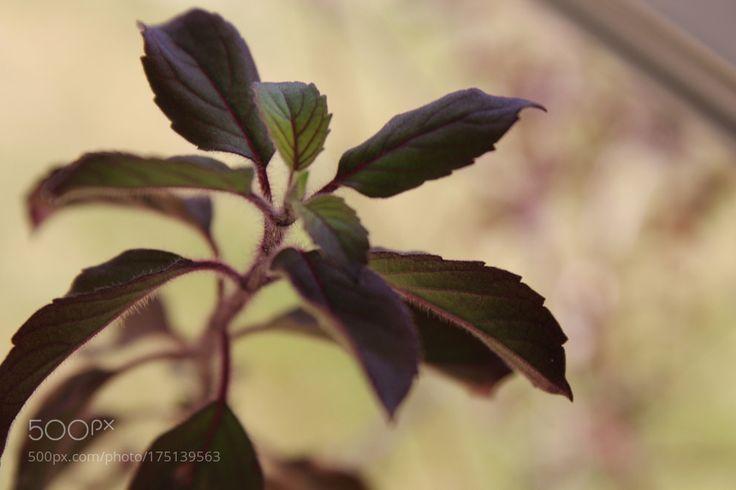 Ocimum tenuiflorum 2.0 by RishiRajGujadhur