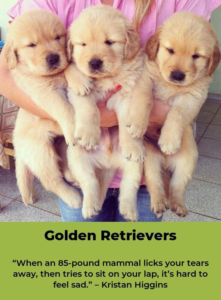 Golden Retriever Goldenretrieverclub Goldenretrieversofig Dogs