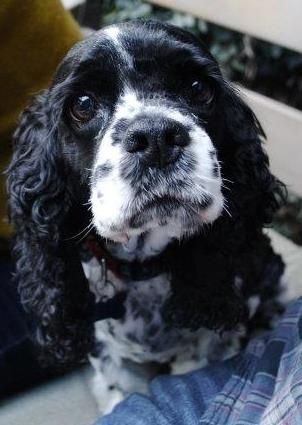 miss my puppy spaniel Sadie