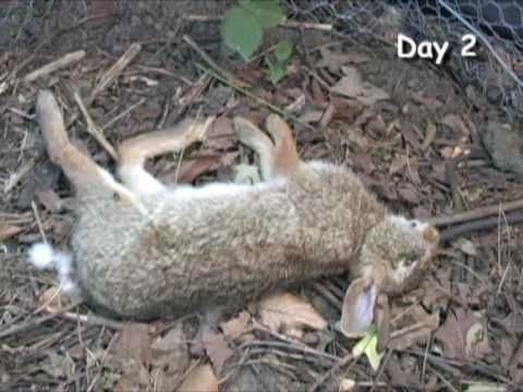 RABBIT DECOMPOSITION IN SEVEN DAYS: Students love this ... Human Decomposition Time Lapse