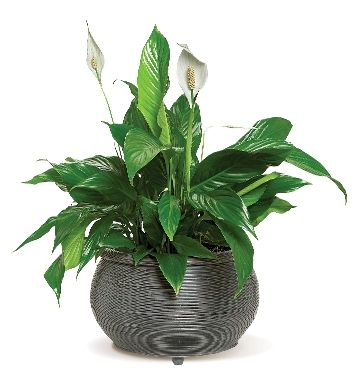 4 plants that can improve air quality at home: House Plants, Plants Flowers, Lilies, Houseplants, Green Plants, 3 Peace Lily
