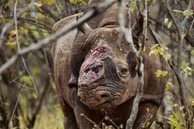 Blessé par ballesDes gardes-chasse ont trouvé ce rhinocéros noir mâle dans la vallée protégée de Savé, au Zimbabwe, blessé par balles et les deux cornes coupées. Les vétérinaires l'ont euthanasié car son épaule était brisée. Depuis six ans, en Afrique, les braconniers ont tué plus d'un millier de rhinocéros pour leurs cornes. Utilisées dans la médecine traditionnelle, celles-ci passent en contrebande en Asie.