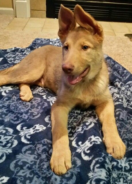 25+ best ideas about Rare dog breeds on Pinterest | Rare ...
