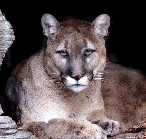 Cougars Near Me >> 77 best images about COUGARS BEAUTY! on Pinterest   Cats, Eyes and Wallpaper backgrounds