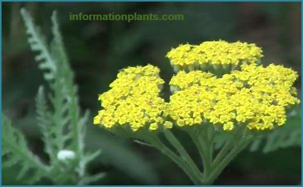 القيصوم او الاخيليا العطري قوائم النبات قوائم النبات معلومان عامه معلوماتية نبات حيوان اسماك فوائد Plants Herbs
